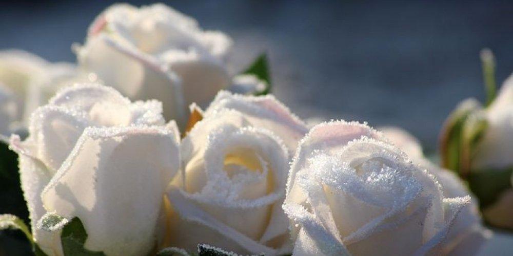 Uskočka bijela ruža