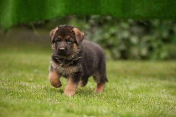 Traits of a professional Offering German Shepherd for Sale Services