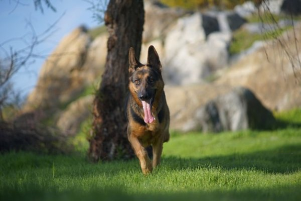 3 Questions to Decide Adoption of Full Blooded German shepherd